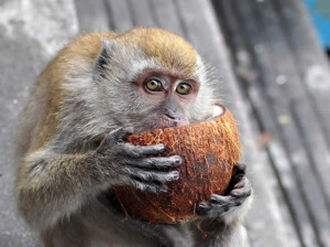 monkeycoconut
